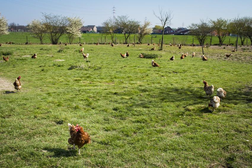 Sophie Nuytten Taemhoeve bio eieren kippen