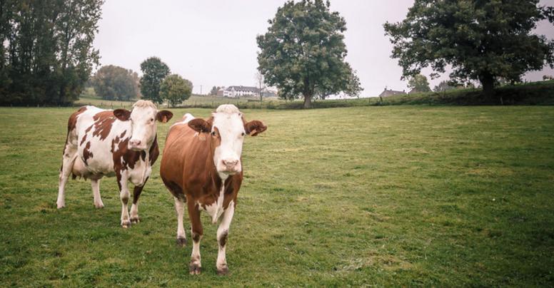 Koeien Kvl