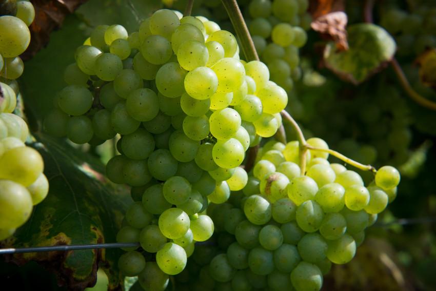 Druiven_purfruit.jpg#asset:78556:url
