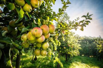 Appelboomgaard