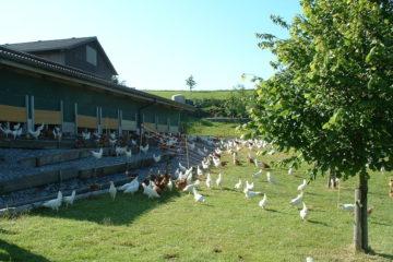 Kippen Uitloop