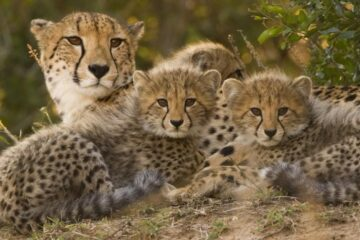 Cheetah Momcubs