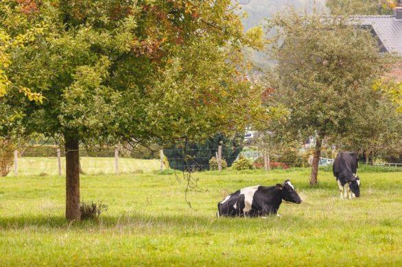 20210603 Natuurgebied Beter Af Biomelkvee Sfeerfoto Luc Hollands