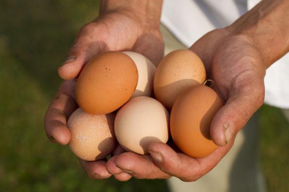 Hand Eieren Bolhuis