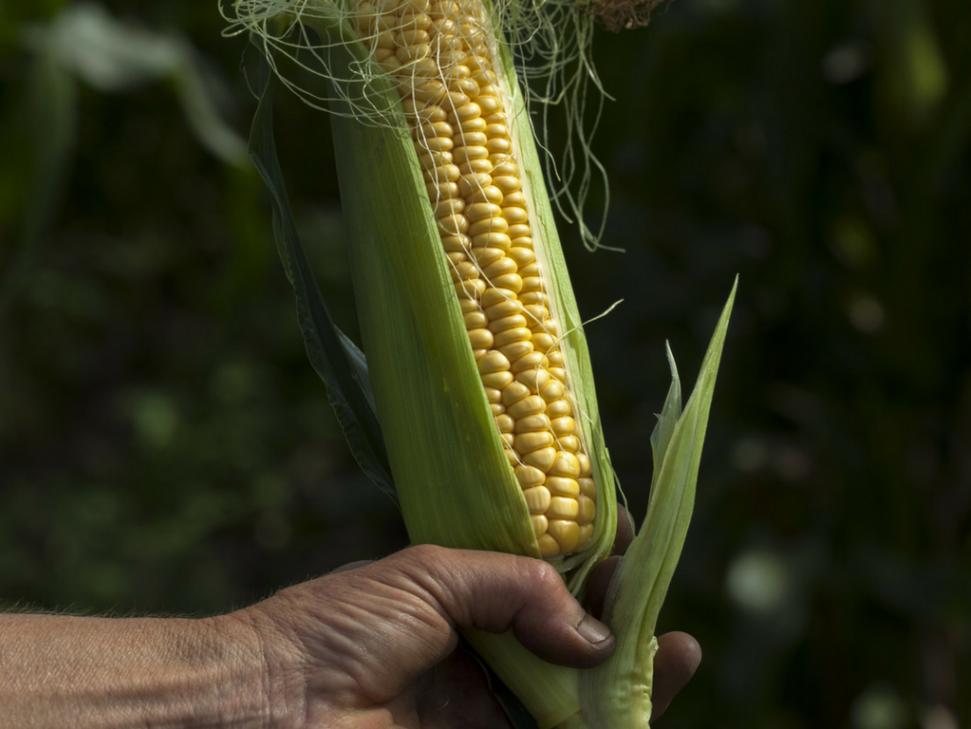 Biologisch geteelde maïs op Akelei