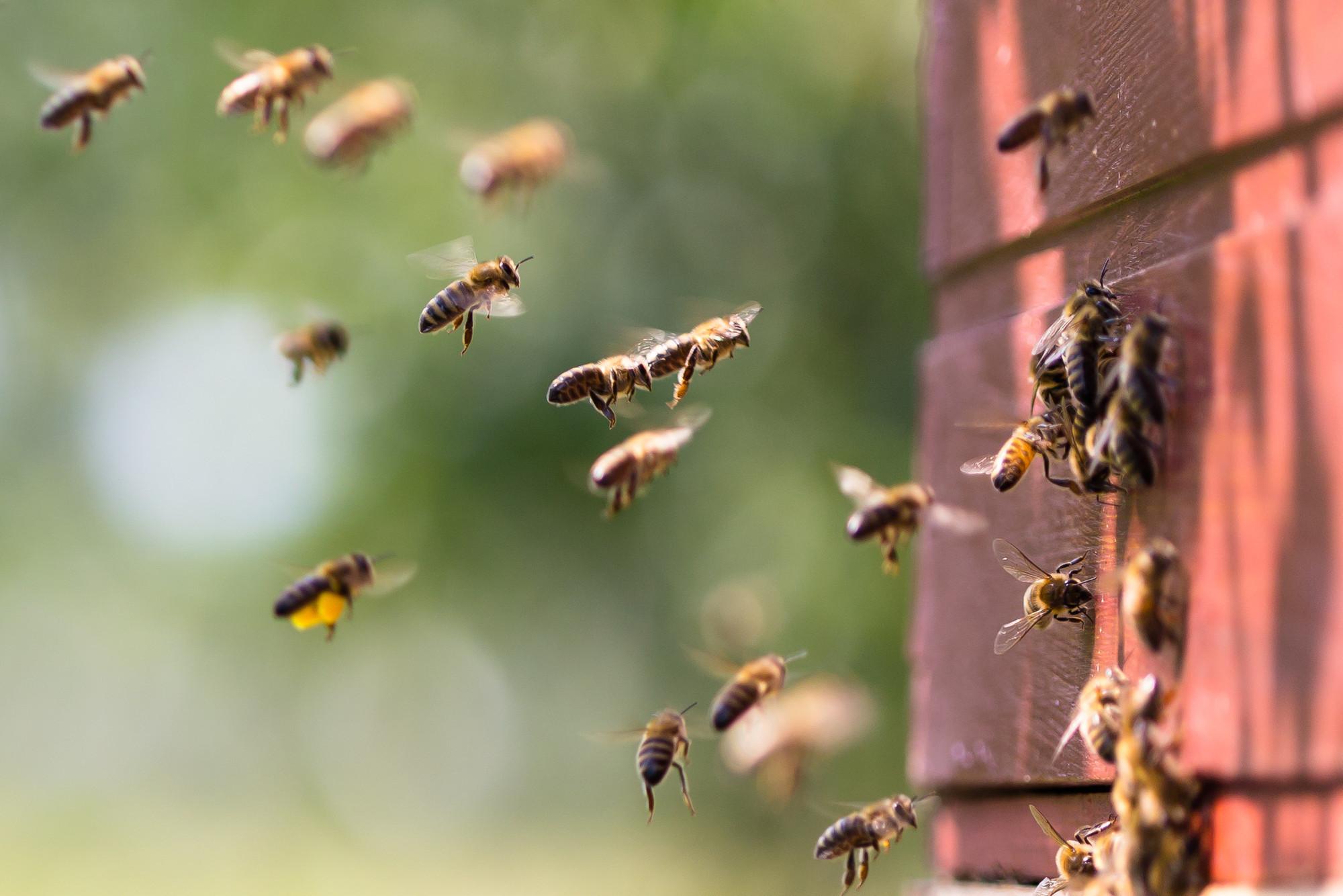 Bijen Lombarts Calville