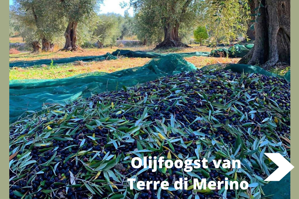 Olijfoogst Terre Di Merino